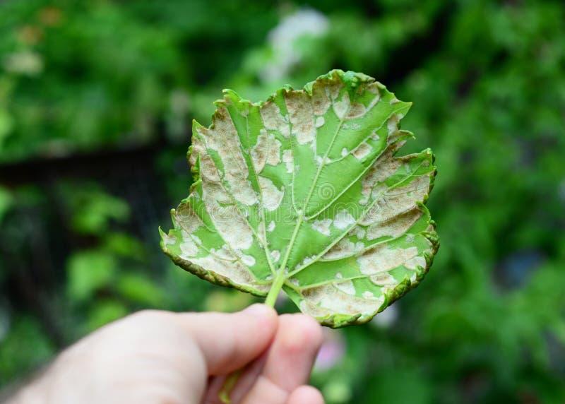 Le vitikola de Plasmopara de rouille duveteuse est une maladie fongique qui affecte des feuilles d'un raisin Fermez-vous sur les  photographie stock