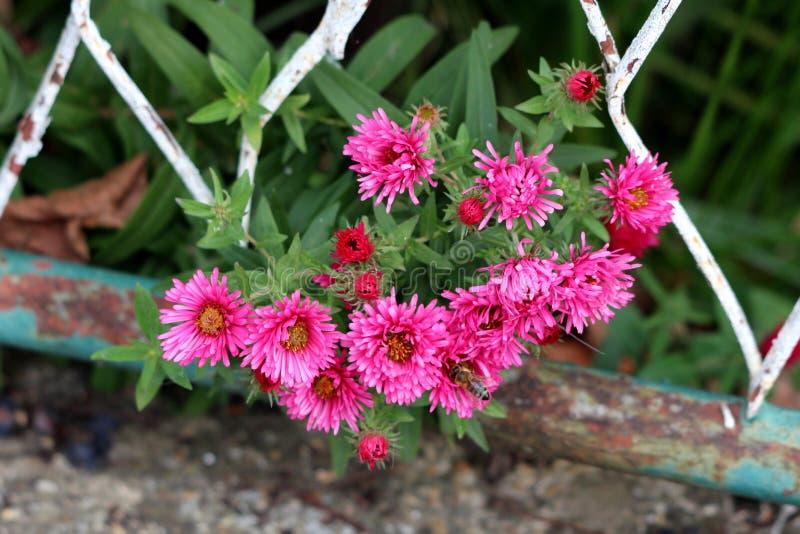 Le vol d'abeille devant les fleurs roses foncées multiples d'aster a en masse planté et s'élevant par la vieille barrière en méta images libres de droits
