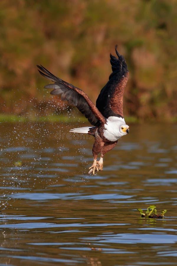 Le vol d'aigle de poissons avec la proie au-dessus du lac photo stock