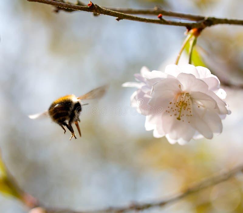 Le vol de gaffent l'abeille à une cerise de fleur image libre de droits