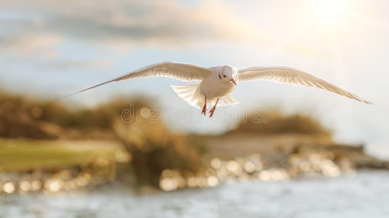 Le vol de la mouette dans le beau contre-jour photos libres de droits