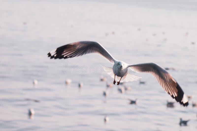 Le vol de mouette, vol d'oiseau de mer par la nature lumineuse blanche de ton de mer de bleu de ciel bleu peut retraiter votre jo photographie stock