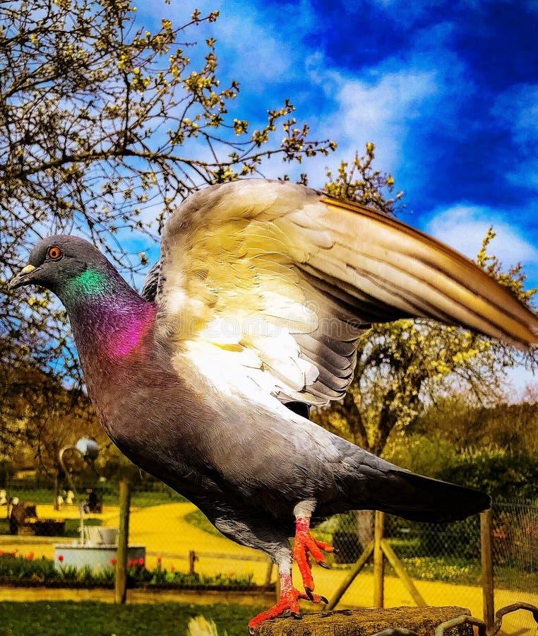 le vol du pigeon image libre de droits