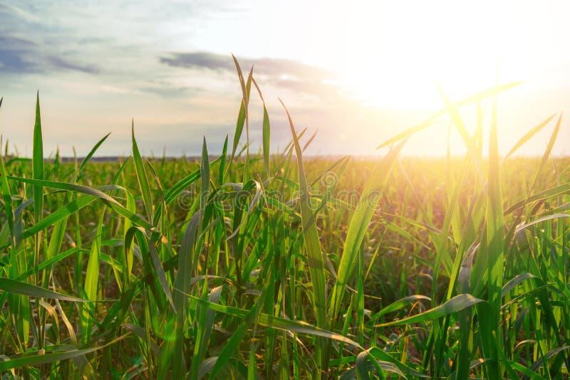 Le vrai blackgroud frais d'herbe verte avec le soleil de soirée brille Les usines se développe photographie stock