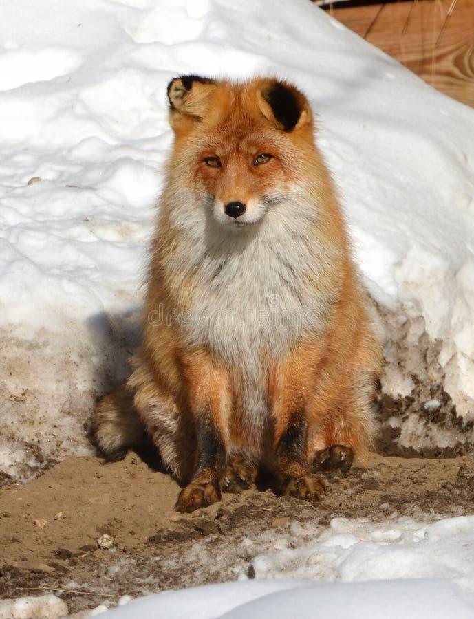 Le vulpes de Vulpes de renard rouge se repose sur la neige image libre de droits