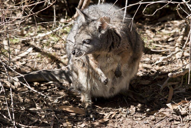 Le wallaby tammar se cache photos libres de droits