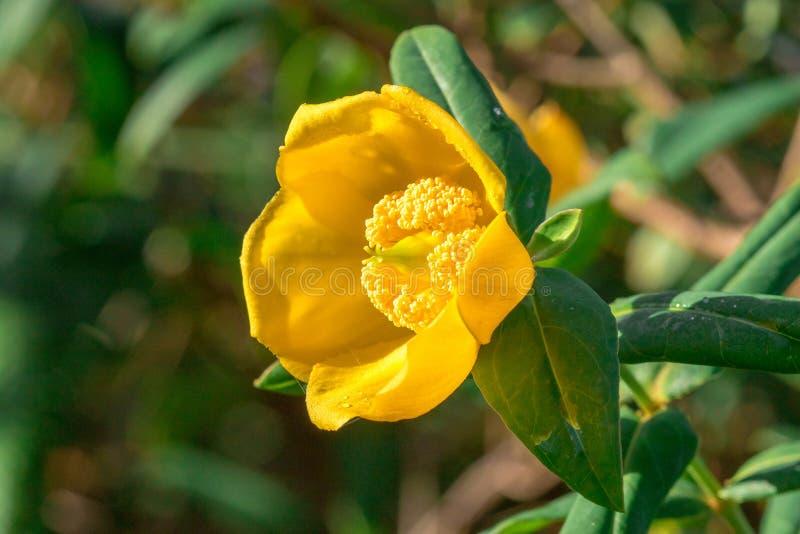 Le Wight de hookerianum de Hypericum est un secteur rare trouvé dans la forêt à feuilles persistantes photos libres de droits