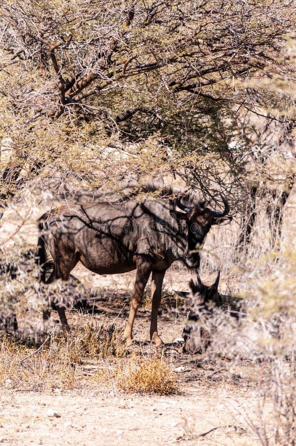Le Wildebeest caché derrière un arbre images stock
