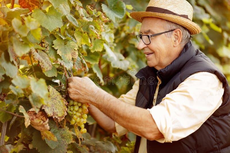 Le winemaker de sourire moissonnent le raisin à son vignoble image stock
