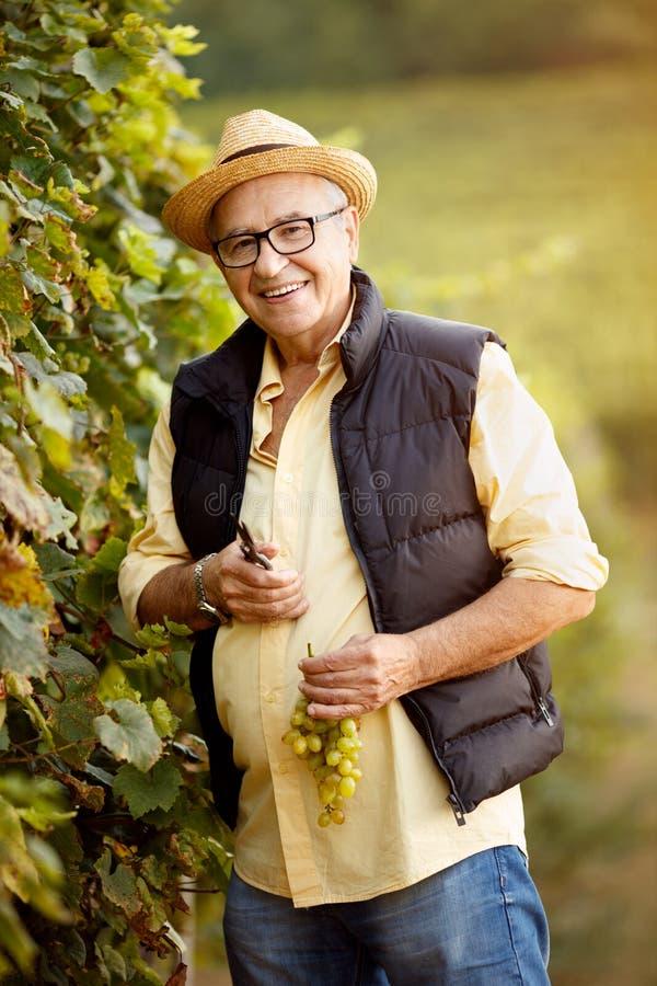 Le winemaker de sourire moissonnent le raisin à son vignoble photos libres de droits