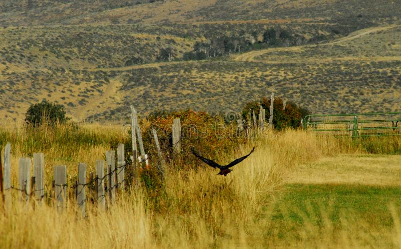 Le Wyoming un champ du ` s d'agriculteur avec une corneille en vol images stock
