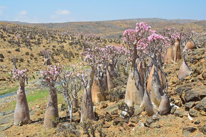 Le Yémen, île de Socotra, arbres de bouteille (le désert s'est levé - l'obesum d'adenium) images libres de droits
