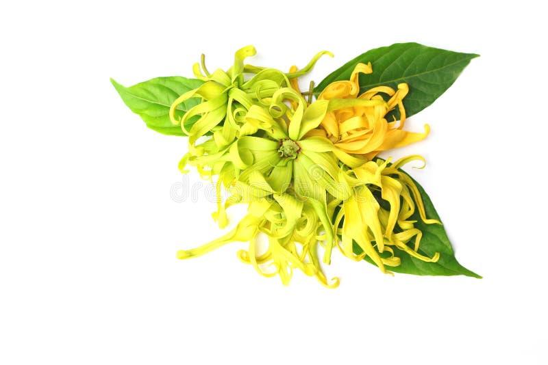 Le ylang de Ylang fleurit avec les feuilles fraîches sur le fond blanc images libres de droits