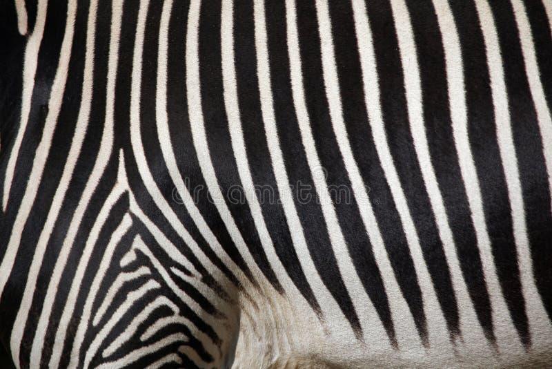 Le zèbre de Grevy (grevyi d'Equus), également connu sous le nom de zèbre impérial photos libres de droits