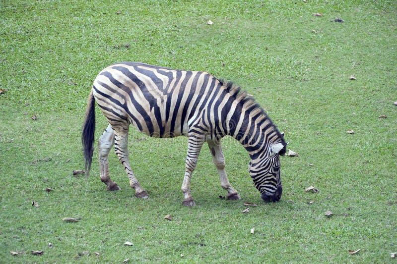 Le zèbre de Grevy ou le grevyi d'Equus, dans le zoo de Sao Paulo image libre de droits