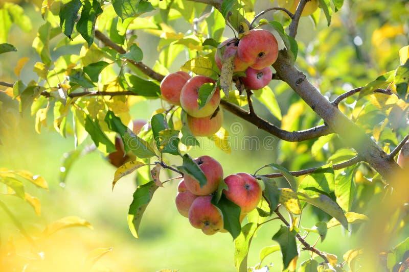 Lea las manzanas en la cosecha imagenes de archivo