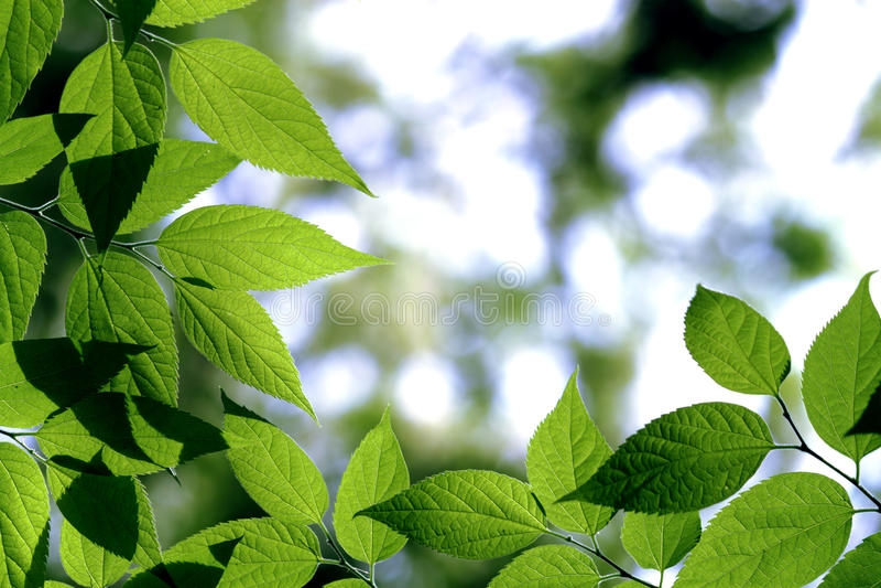 Lea verde foto de stock royalty free
