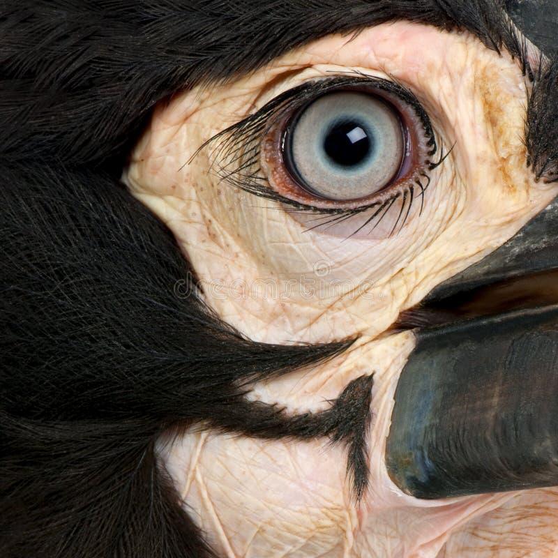 leadbeat hornbill bucorvus детеныши земного южные стоковые фото