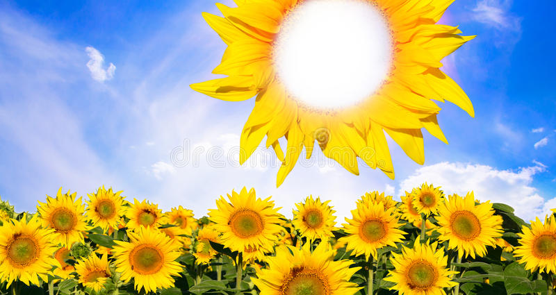 The leader concept. Concept of a team leader represented by sunflowers on a field and a sun made by a powerful sunflower vector illustration