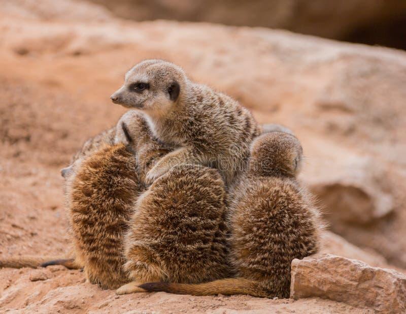 Download Leader of meerkats stock image. Image of hair, friendship - 38444227