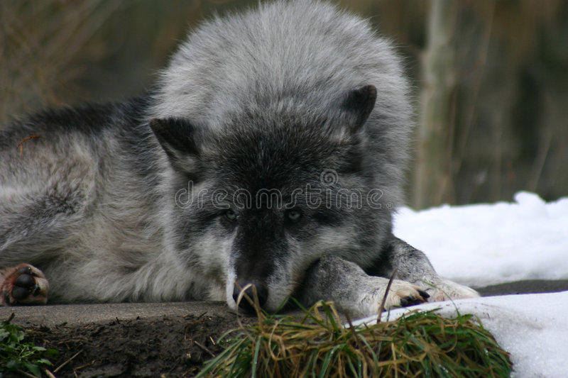 Download Leader of the pack. stock photo. Image of wild, scowl, wolf - 83856
