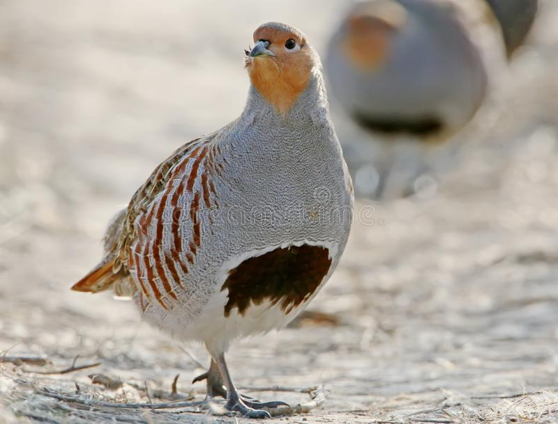 Leader of a pack of gray partridges stock photography