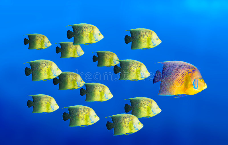 Leadership concept. Big fish leading school of tropical fishes