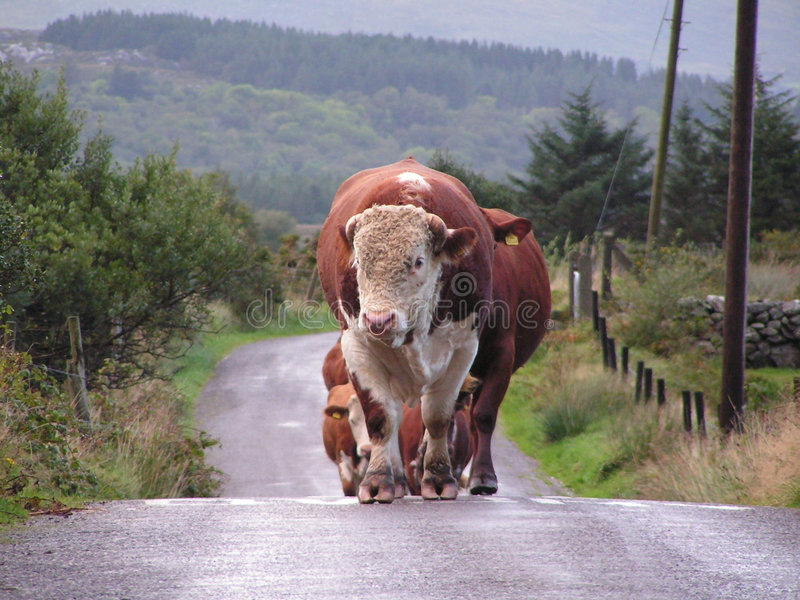 Leading Bull and cows approaching. royalty free stock photography