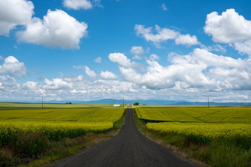 Leading line of a road through a field of mustard plants in the palouse region of western Idaho USA stock image