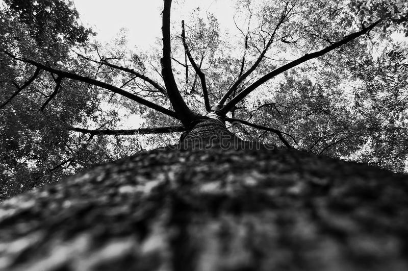 Leading Tree royalty free stock images