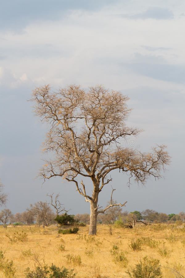Download Leadwood tree stock image. Image of morning, grass, africa - 27675623