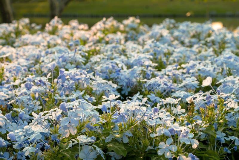 Leadwort do cabo, auriculata da plumbagina no jardim imagens de stock royalty free