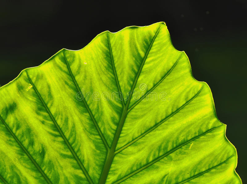 The leaf stock images