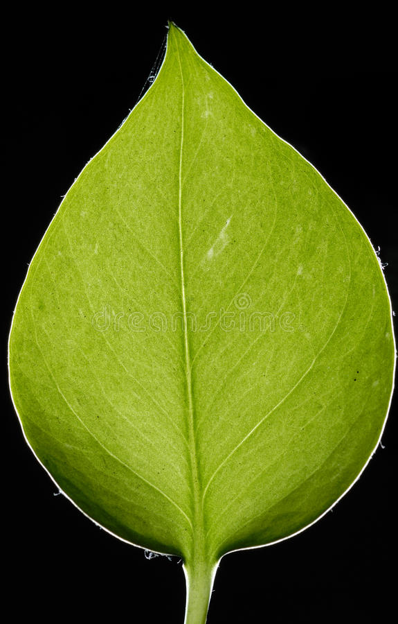 Download Leaf stock photo. Image of veins, nature, plant, detail - 15247286