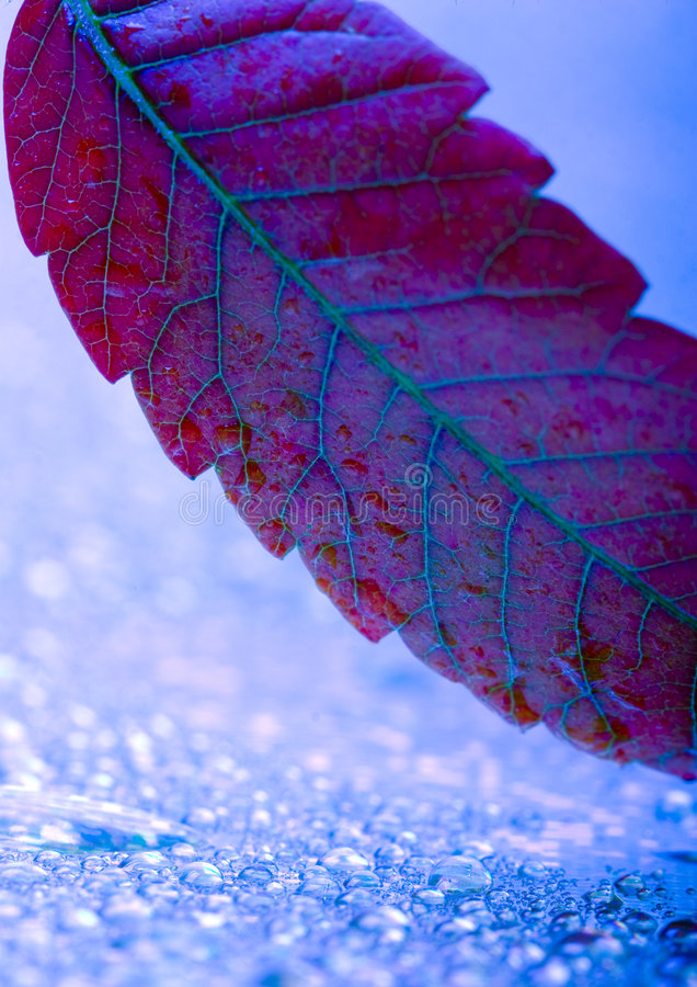 Leaf. In botany, a leaf is an above-ground plant organ specialized for photosynthesis. For this purpose, a leaf is typically flat (laminar) and thin, to expose stock image