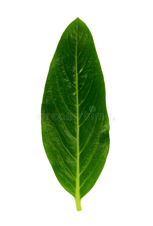 Leaf 2. Isolated macro green tree leaf royalty free stock photography