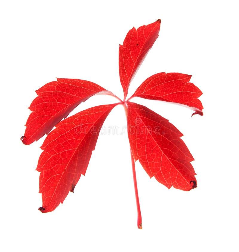 Download Leaf stock image. Image of white, botany, golden, brown - 20999603