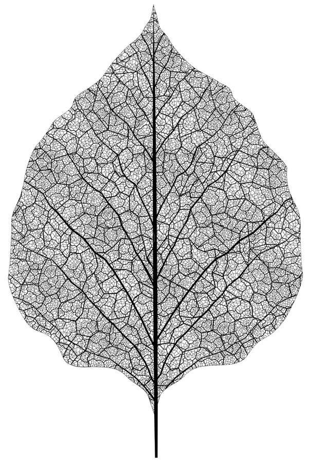 Leaf. Manually drawn leaf skeleton. Eps8 vector