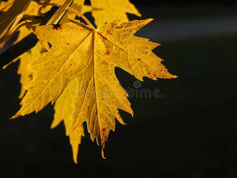 Download Leaf stock photo. Image of free, yellow, texture, royalty - 312160
