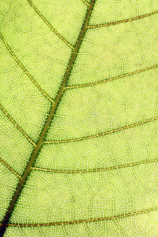 Download Leaf stock photo. Image of backlit, nature, texture, flora - 6436960