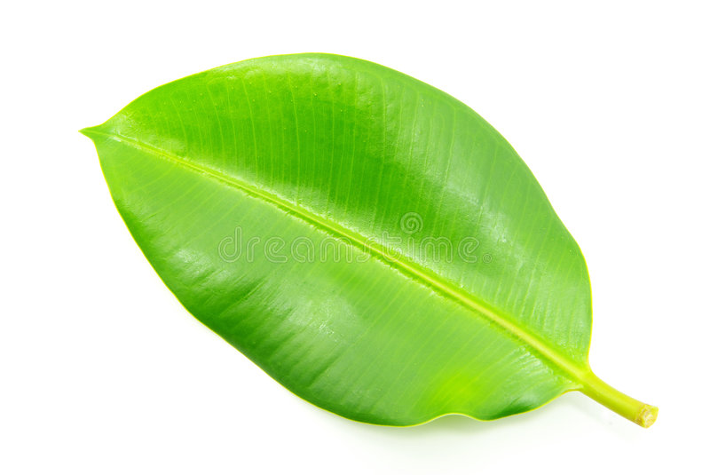 Leaf. Green leaf isolated on a white stock image