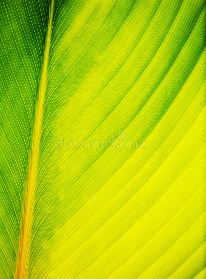 Leaf abstract close up. A close up photograph of a large palm frond or leaf showing its fresh green and yellow veins in beautiful details, an abstract still life royalty free stock image