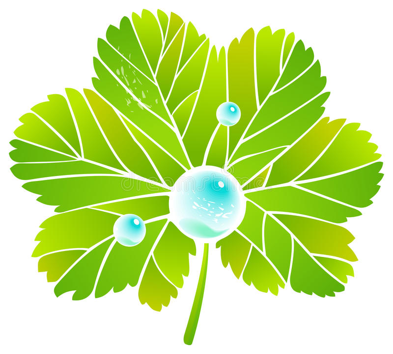 Leaf alchemilla and dew. Leaf and dew. Vector image royalty free illustration