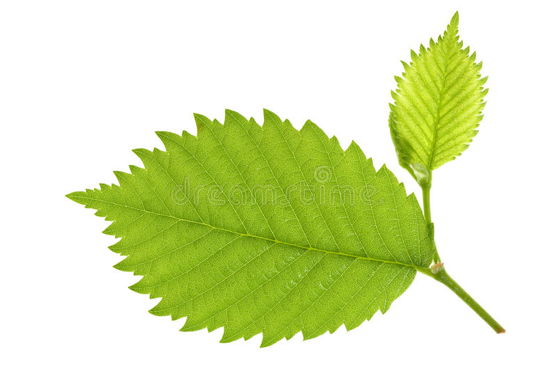 Leaf of Alder Tree. On isolated royalty free stock photos