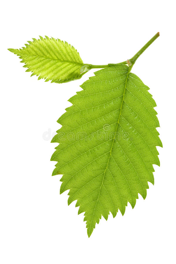 Leaf of Alder Tree. On isolated royalty free stock images