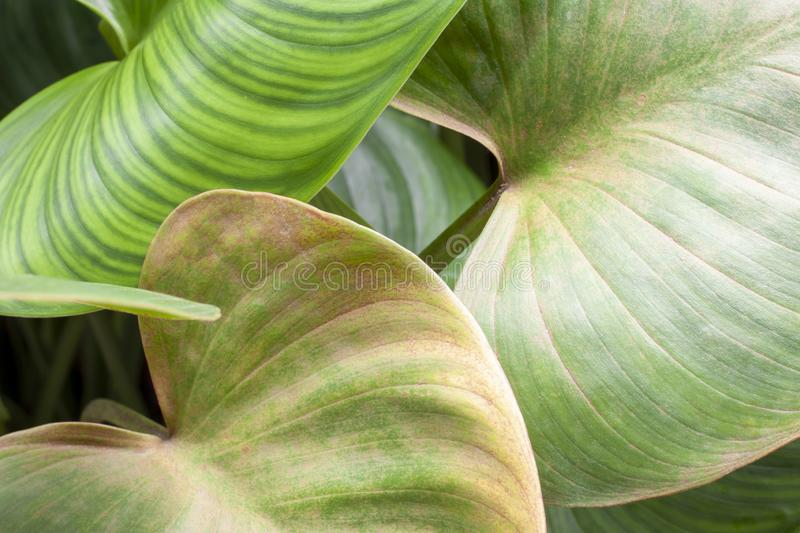 Leaf of alocasia cucullata plant with sunlight in the garden. Leaf of alocasia cucullata plant with sunlight in the garden for background royalty free stock photo