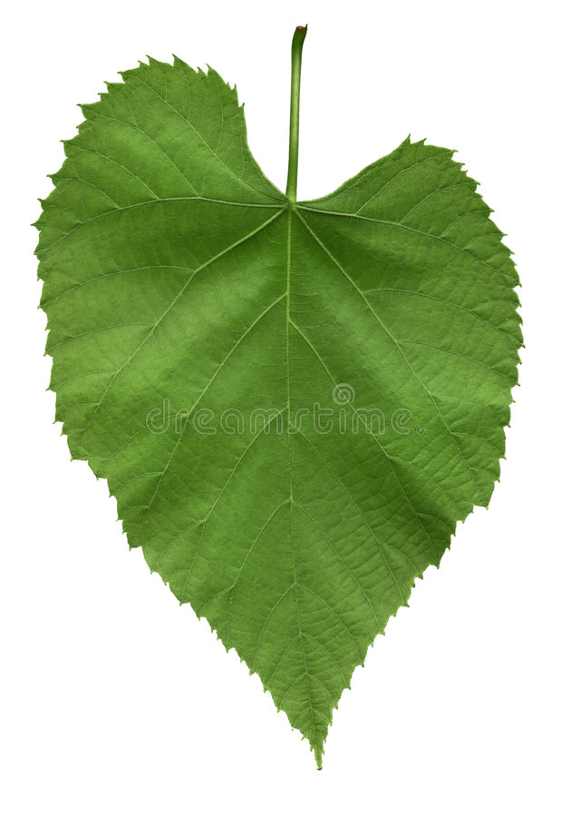 Download Leaf Of American Linden Tree Stock Photo - Image: 187320
