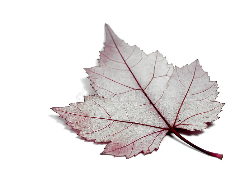 Download Leaf Anatomy stock photo. Image of fall, leaves, veins, isolated - 7064