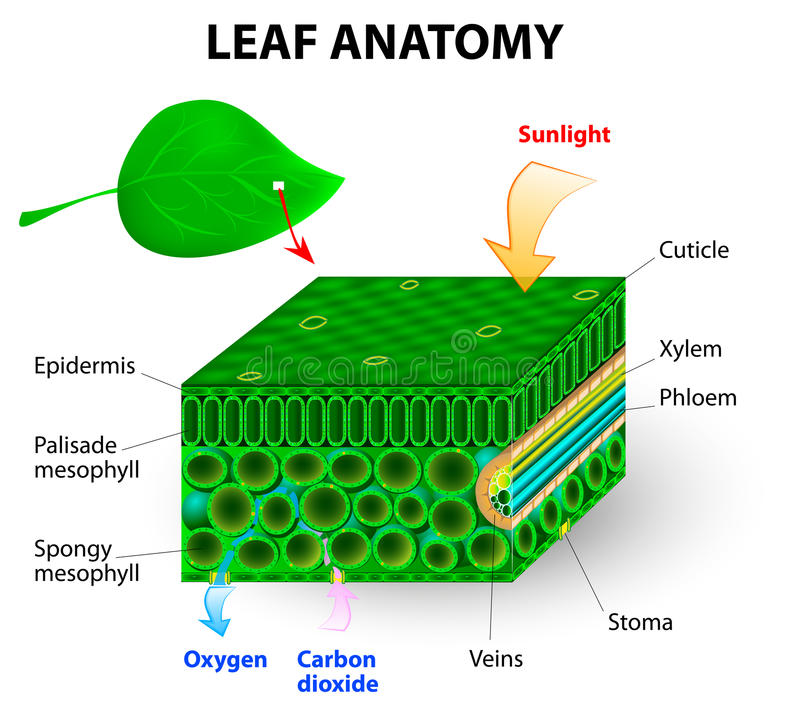 Leaf anatomy. Vector diagram. photosynthesis. Chlorophyll is the molecule in leaves that uses the energy in sunlight to turn water and carbon dioxide gas into vector illustration