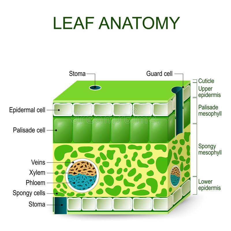 Leaf Anatomy Vector Diagram Stock Vector Illustration Of Phloem